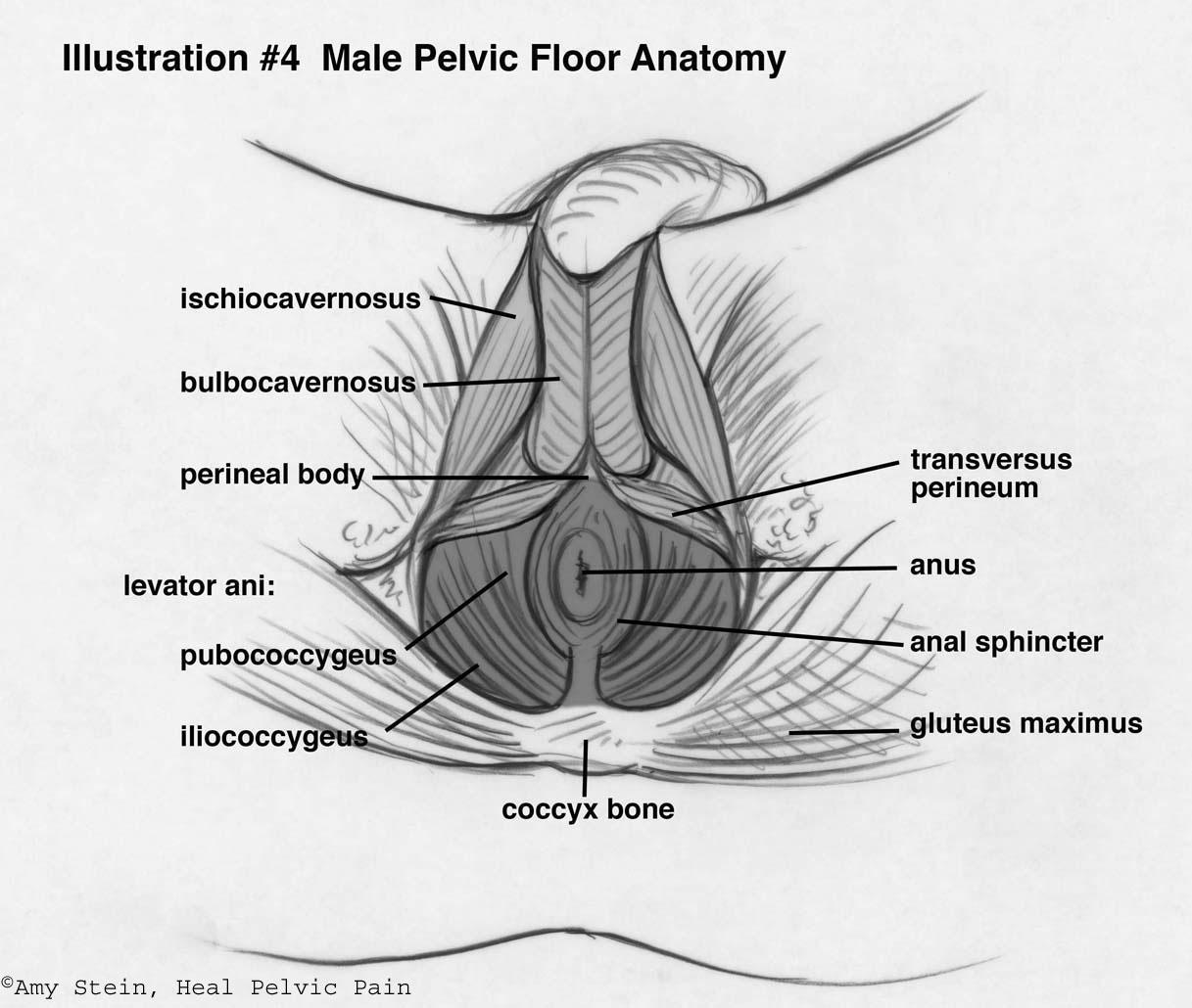 Musculatura Del Suelo P 233 Lvico Fuente Pilates