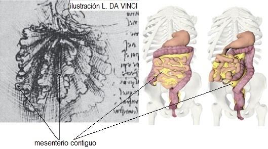 mesenterio final 002 - La anatomía se reescribe